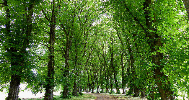 Photograph of trees lining a path.