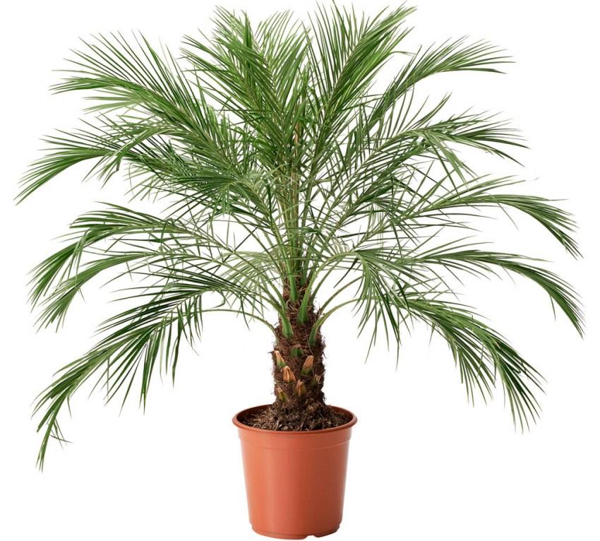 Финик растение картинки