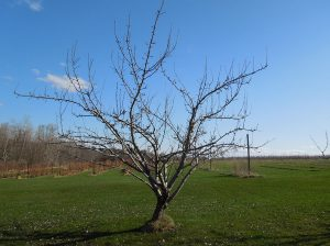 A multiple leader tree pruned so that several limbs that grow upward and outward