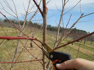 Gardener makes a thinning cut with pruners