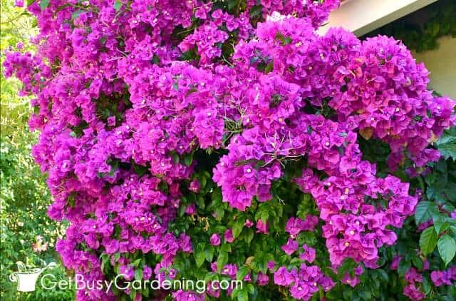 Bougainvilleas are gorgeous climbing flowers