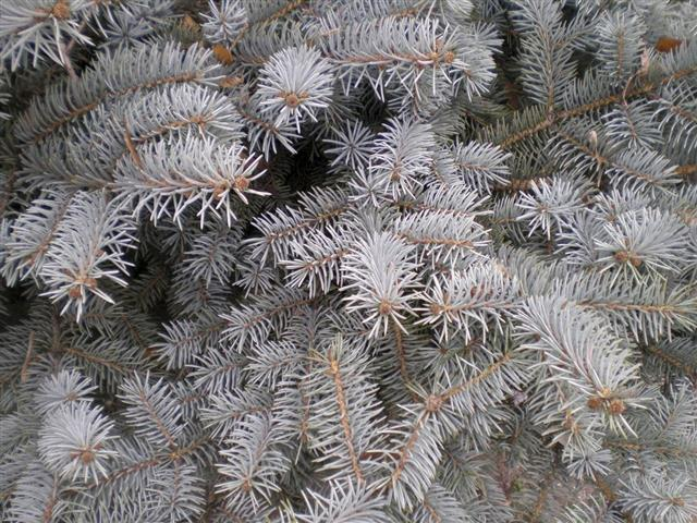 Branches of White Spruce