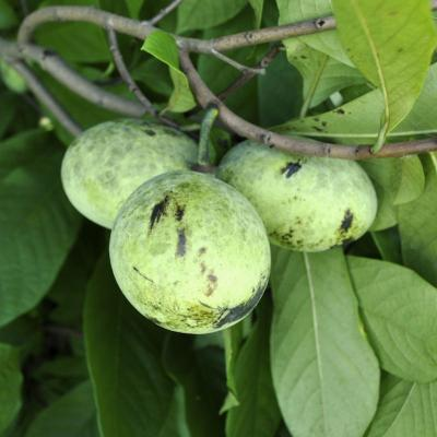 Pennsylvania Golden Pawpaw
