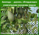 Как растет авокадо в домашних условиях фото – Авокадо дерево — как выглядит, где растет, уход в домашних условиях