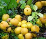 Айва на дереве – как вырастить на загородном участке