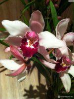 Самая красивая орхидея – Ой!