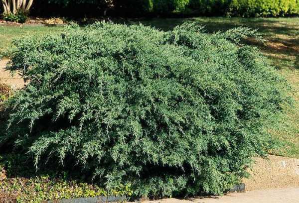 Кипарис. Можжевельник - Juniperus communis. Хвойные деревья | 408x600