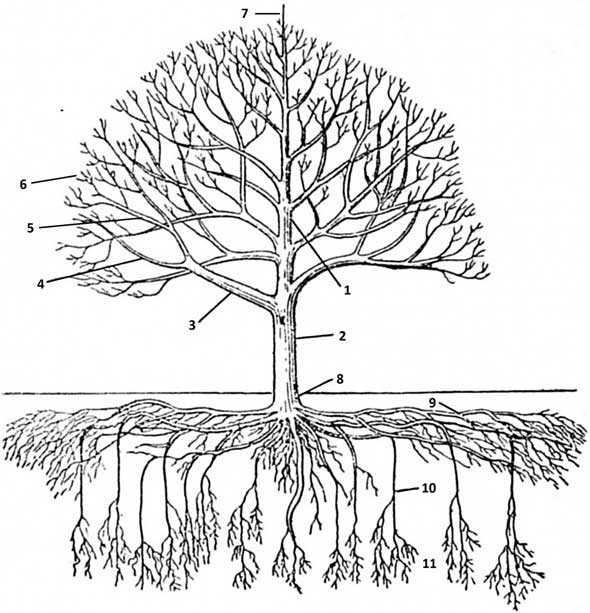 Строение дерева схема картинки